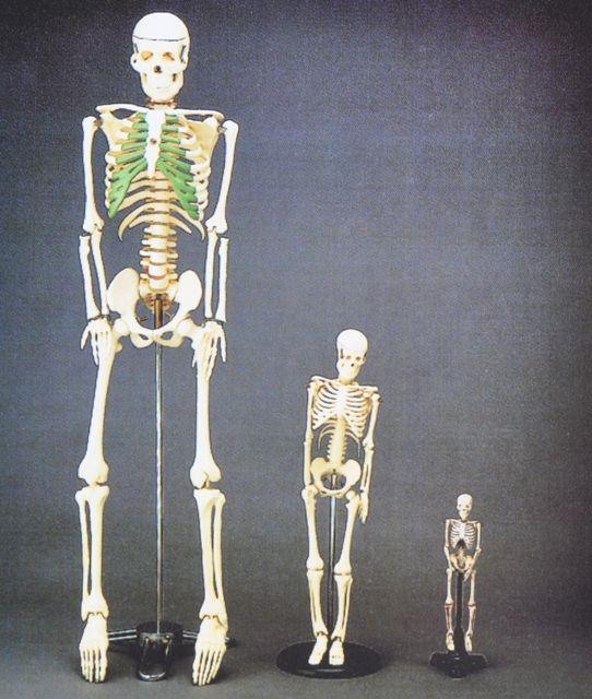 דגם שלד אדם 42 סמ