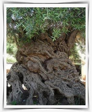 עץ זית עם גזע פיסולי מרהיב ביופיו