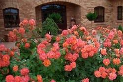 גן ורדים עם גלי פריחה שופעת