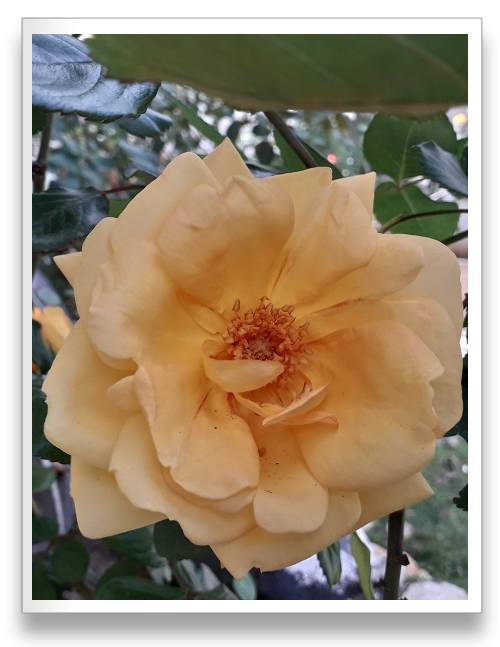 ורד כתום צהוב