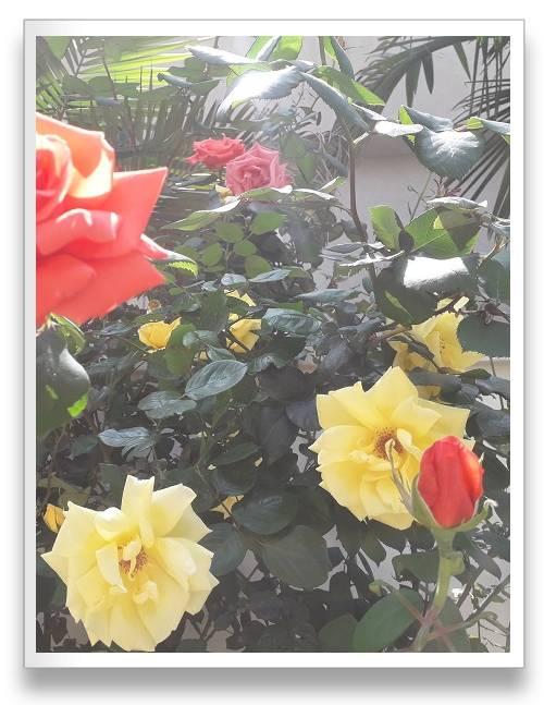 ורד מיקס צבעים מגוון