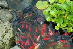 ברכת נוי עם דגים וצמחי מים