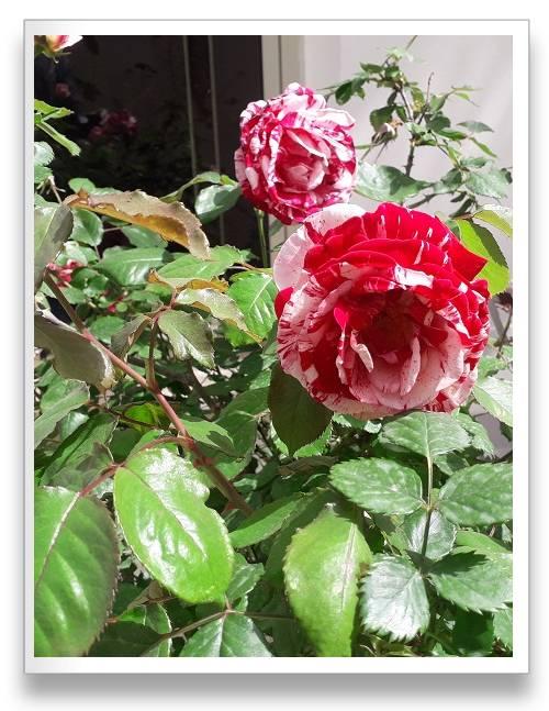 ורדים עם עלים ב-2 גוונים אדום ולבן