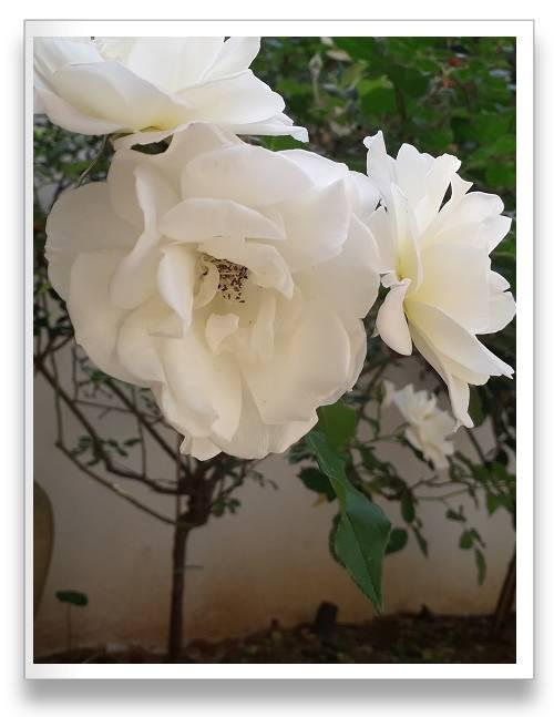 ורדים על גזע בגוון לבן מבריק