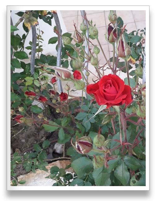 שיח ורד אדום אש עם עשרות ניצני פריחה חדשה