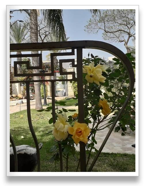 ורדים כלאי תה בגוון בהיר צהוב