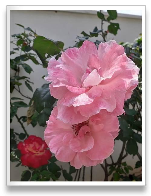 ורדים כלאי תה, פלוריבונדה פרח גדול בגוון ורוד