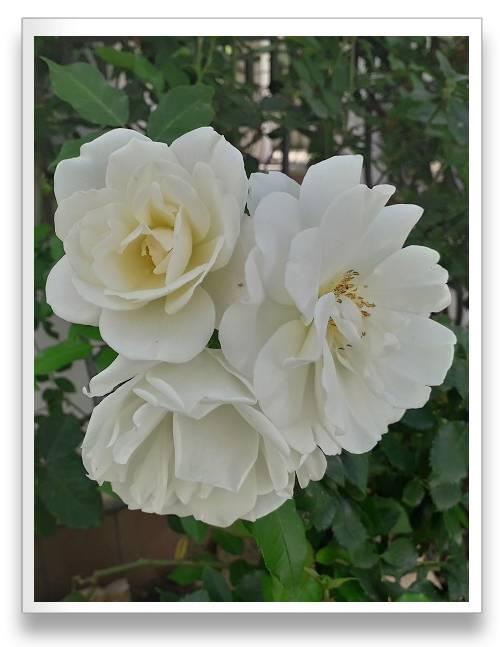 שיחי ורד בגוון לבן ובמרכז הפרח גוון צהבהב