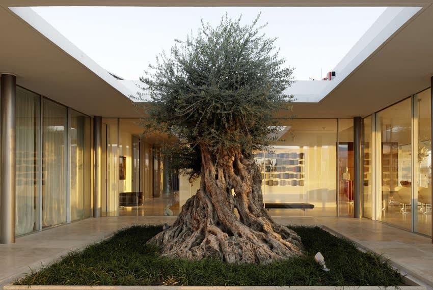 גינת פטיו עם עץ זית עתיק