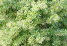 צסטרום לילי (יערת הדבש) 10 ליטר