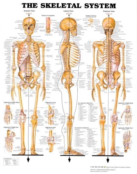 """פוסטר אנטומיה שלד גוף האדם מק""""ט 101 מידה 51X66 ס""""מ"""