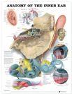"""מפת אנטומיה של האוזן הפנימית 51X66 ס""""מ"""