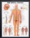 """פוסטר אנטומיה של העצבים היוצאים מעמוד השדרה 50X70 ס""""מ"""