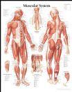 """פוסטר אנטומיה מערכת השרירים 71X44 ס""""מ"""