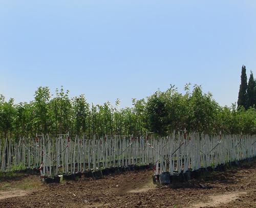 עצי נוי
