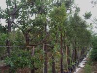 עצי נוי, אלון התבור, חורש ים תיכוני