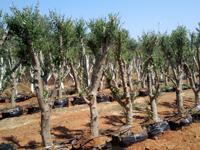 זית, עצי פרי, חורש ים תיכוני, עצי נוי