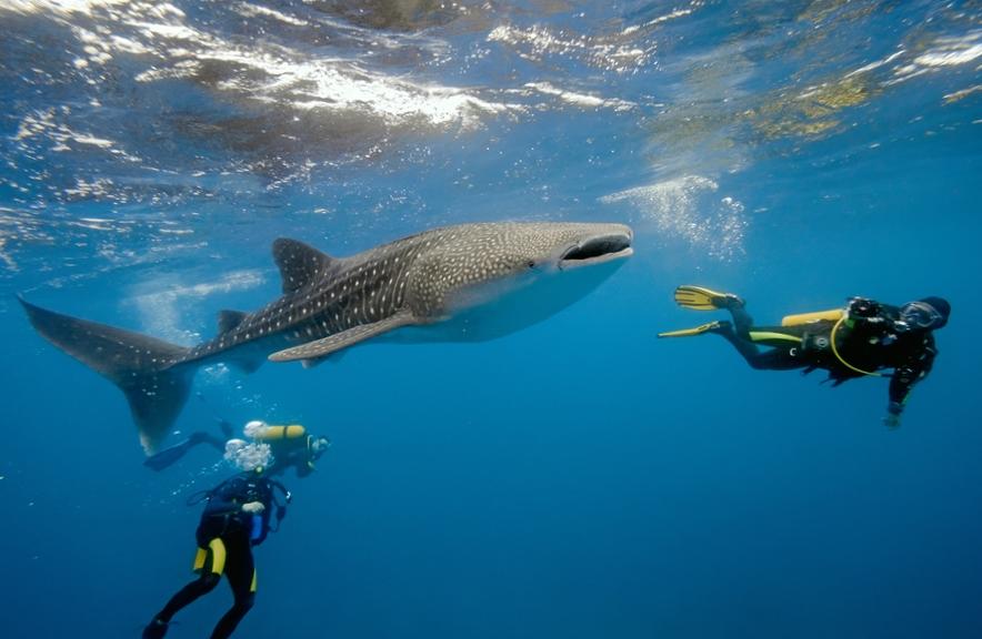 שחייה עם לויתנים