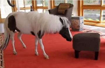 הסוס הקטן ביותר בעולם- איינשטיין
