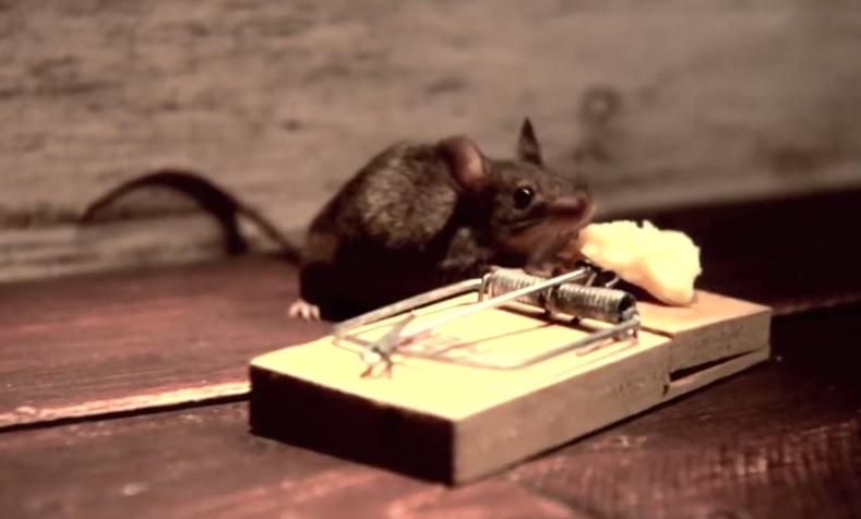 עכבר אוכל גבינה צהובה