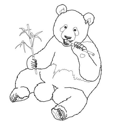 פנדה ענקית אוכלת במבוק