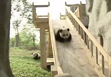 דוב פנדה מתגלש