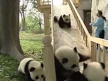 דובי פנדה מתגלשים