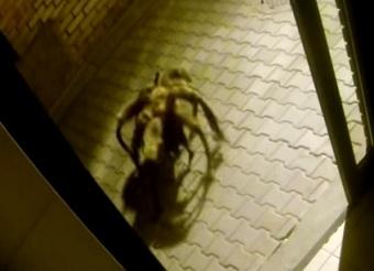 כלב עכביש ענק
