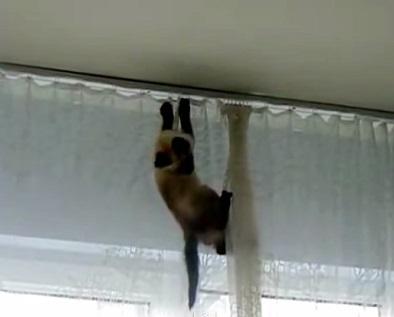 חתול תלוי על הוילון