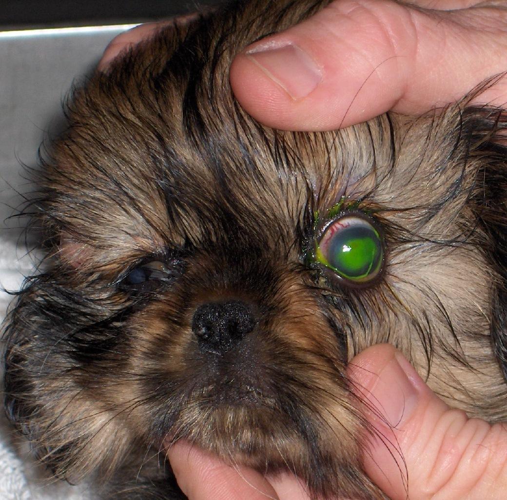 כיב בעין של כלב