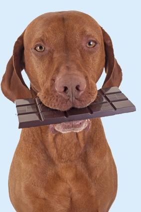 שוקולד רעיל לכלבים