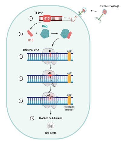 תהליך השתלטות של בקטריופאג על החומר התורשתי של חיידק, צילום טרידיב מהאטה