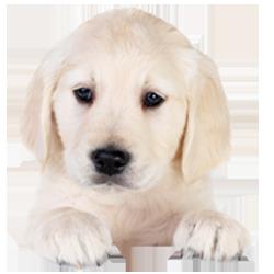 טיפול בגורי כלבים, גור כלבים