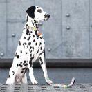 ZeroBugs תליון אלקטרוני לכלב נגד פרעושים וקרציות אקולוגי