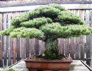 Искусство бонзай: 15 невероятно красивых мини-деревьев, созданных людьми