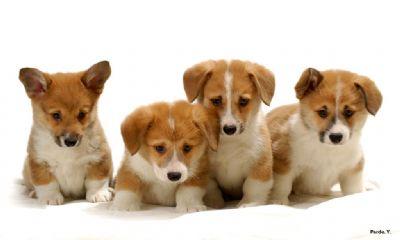 כולם חדשים האקדמיה הישראלית לכלבנות - תקן הגזע-קורגי YG-51