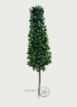 """צמח מעוצב פירמידה 180 ס""""מ"""