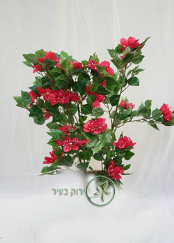 """שיח בוגנביליה אדום סגול 75 ס""""מ"""