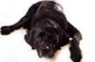 דלקת פרקים אצל כלבים