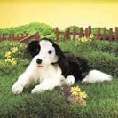 כלב קולי - בורדר קולי border collie puppet 2393