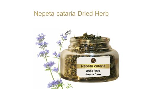 צמח מרפא נפית החתולים