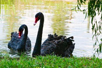 ברבור שחור אוסטרלי - טיפול בעזרת בעלי חיים