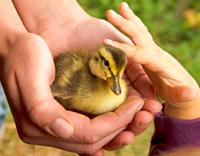 טיפול בעזרת בעלי חיים - ידיים מלטפות גוזל