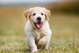 חיה טיפולית סוגי כלבים המתאימים לעבודה טיפולית