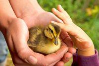 מלטפים ברווזון - טיפול בהפרעות קשב עם בעלי חיים