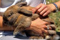 מלטפת ארנבון - כלי לוויסות חושי בטיפול המשלב חיות