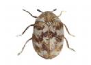 עוריות וחיפושיות