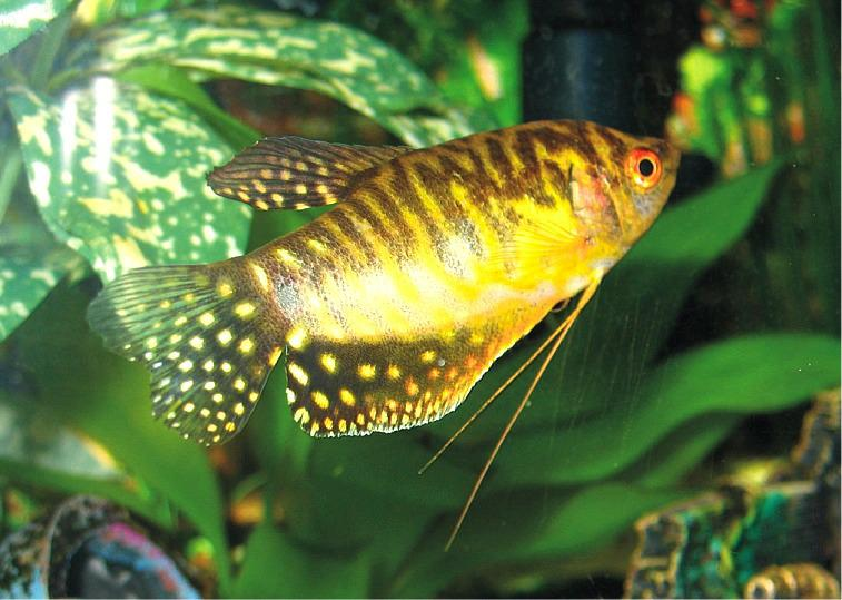 גורמי   Golden Gourami