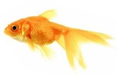 דגים לבריכת נוי - דג זהב