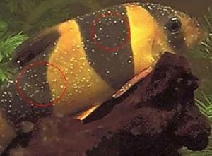 דג עם מחלת הנקודות הלבנות